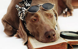 bokhund Royaltyfri Bild