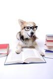 bokhunden läser royaltyfri fotografi