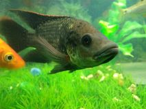 Bokko ryba Zdjęcia Royalty Free