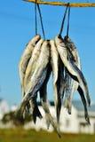 Bokkoms trocknete Fische Stockfoto