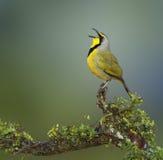Bokmakierie bird - Telophorus zeylonus Royalty Free Stock Photo