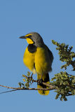 Bokmakierie or Bushshrike Perched on a Branch Stock Image