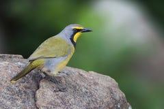 Bokmakierie-Vogel, der auf Felsen sich sonnt stockbilder