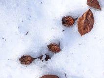 Bokollonar på snön Arkivfoto