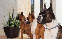 Bokserów psy Zdjęcia Stock