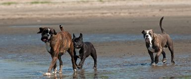 Bokser, Francuski buldog i Stary Angielski buldog, chodzimy na plaży obraz stock