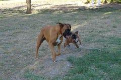Bokser jest prześladowanym bawić się w parka, szczeniaka i dorosłego zwierzętach domowych, Obraz Stock