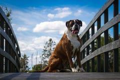 Boksera piękny pies Zdjęcia Royalty Free