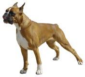 boksera pies zdjęcie stock