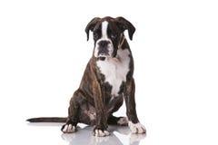 Boksera pies przy studiiem Obrazy Stock