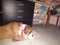 Boksera pies w sypialnym nastroju zdjęcie royalty free