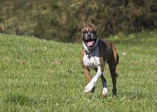 Boksera szczeniaka psa bieg przez trawiastego pola Zdjęcia Stock