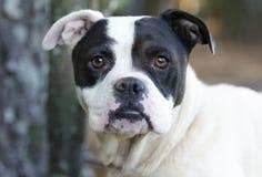Boksera trakenu Amerykański buldog mieszający pies Zdjęcia Royalty Free