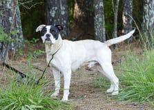 Boksera trakenu Amerykański buldog mieszający pies Obrazy Stock