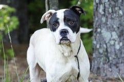 Boksera trakenu Amerykański buldog mieszający pies Obraz Royalty Free