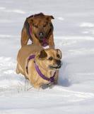 Bokserherder en Puggle gemengde rassenhonden die in sneeuw lopen die elkaar achtervolgen Royalty-vrije Stock Afbeeldingen