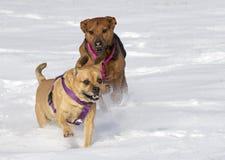 Bokserherder en Puggle gemengde rassenhonden die in sneeuw lopen die elkaar achtervolgen Stock Foto's