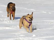 Bokserherder en Puggle gemengde rassenhonden die in sneeuw lopen die elkaar achtervolgen Royalty-vrije Stock Foto's