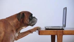Bokserhond die aan laptop werkt stock videobeelden