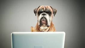 Bokserhond die aan laptop werkt stock footage