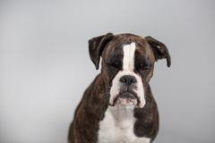 Bokserhond in een studio Stock Foto