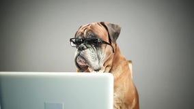 Bokserhond met oogglazen die aan laptop werken