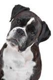 Bokserhond voor een witte achtergrond Royalty-vrije Stock Afbeeldingen