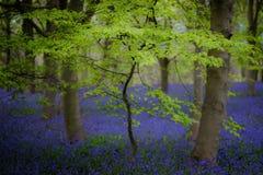 Bokträd och blåklockor, Ripley, North Yorkshire arkivbild