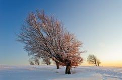 Bokträd i vintern Arkivbilder