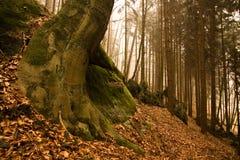 bokträd som växer gammala rocks Royaltyfri Foto