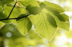Bokträdet lämnar på våren solen, hed för LÃ-¼neburg Bakbelyst fotografi arkivbild
