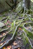 Bokträdet rotar bland vaggar och mossa Royaltyfri Foto
