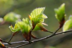 Bokträdsidor blommar på, LÃ-¼neburger Heide Nature Park, nordligt G royaltyfria foton