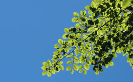Bokträdsidor mot en blå himmel Arkivbild