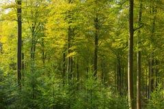 Bokträdskog Arkivfoto