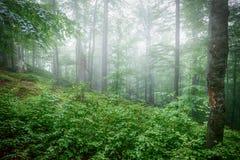 Bokträdskog efter ett regn fotografering för bildbyråer