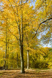 Bokträdskog i höst Arkivbild