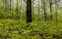 Bokträdskog i vår med barn, sidor som en bakgrund Royaltyfria Bilder