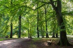 Bokträdskog med gröna blad, en väg och en bänk i Danmark Royaltyfri Fotografi