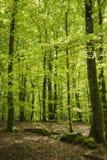Bokträdskog på våren royaltyfria foton