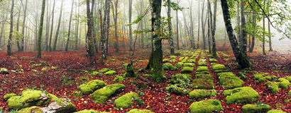 Bokträdskogen med sedimentary vaggar royaltyfria foton