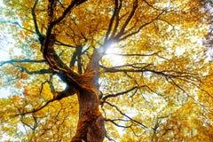 Bokträdträd Royaltyfria Foton