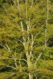 Bokträdträd Arkivfoton