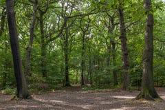Bokträdträd Fotografering för Bildbyråer