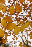 Bokträdträd (fagus) med höst- eller nedgångsidor Royaltyfria Bilder