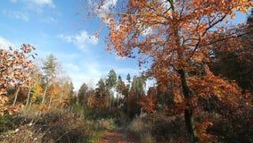 Bokträdträd i autum stock video