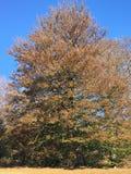 Bokträdträd Royaltyfri Fotografi
