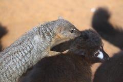 Boky étroit-rayé du nord et lémur Image libre de droits