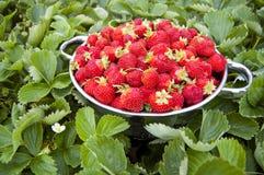 Bol de fraises avec des fraisiers Photos stock