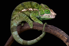 Bol-gehoornd kameleon (Calumma globifer) Stock Foto